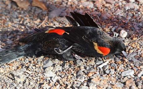 Blackbird_